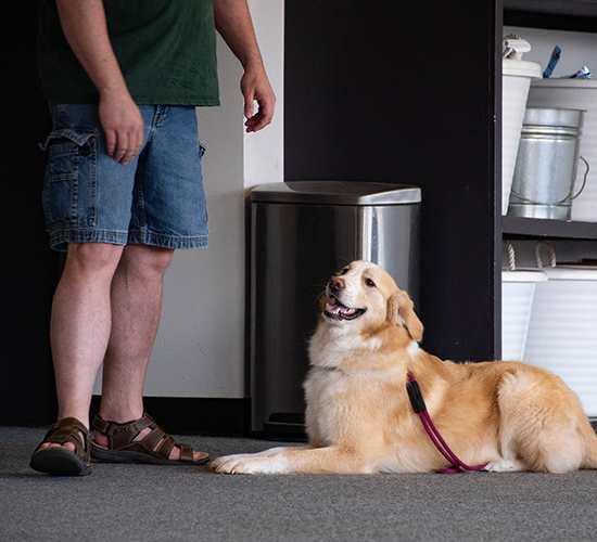 Golden Retriever happily lays down and waits for instruction